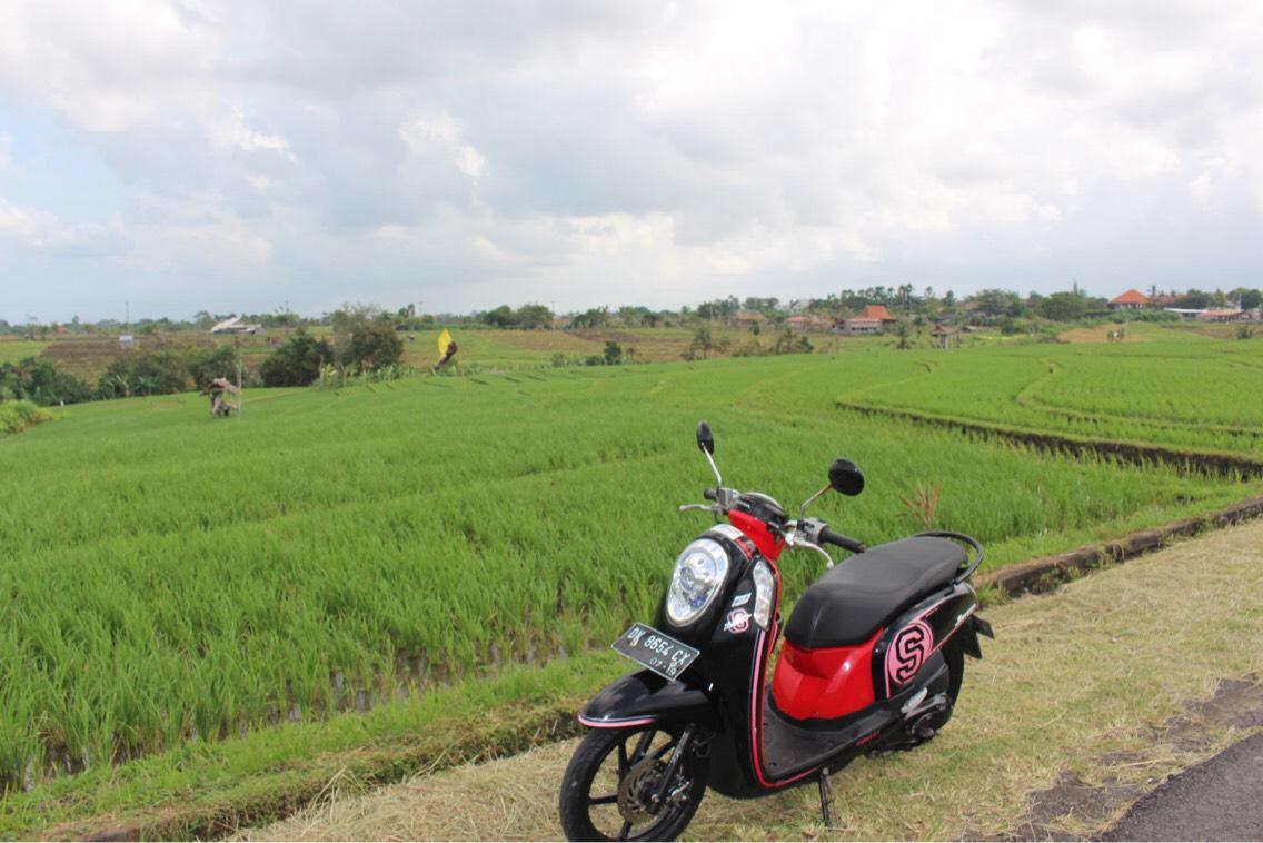 Canguu rice fields